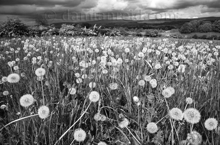 Dandelion Heads On Mass In Field Near Great Salkeld With Eden Valley And Pennines Background